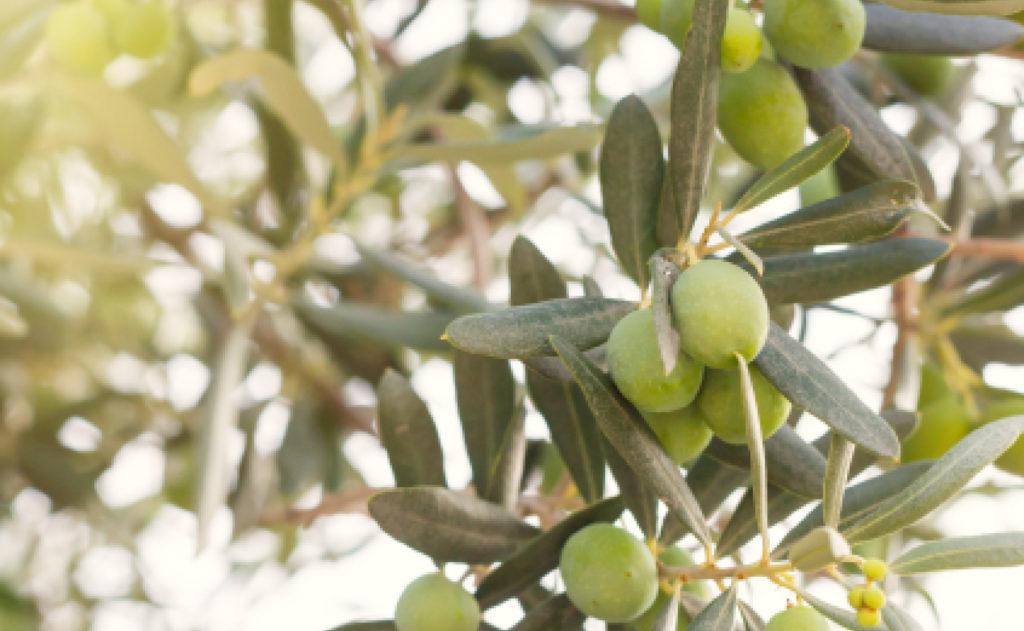 Mise en place d'une filière d'huile d'Olive au Maroc
